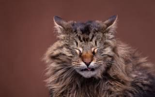 Кашель у кошки причины