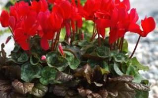 Лечение гайморита цикламеном в домашних условиях