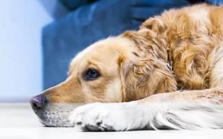 Кашель у собаки лечение