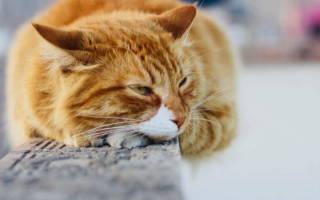Бронхит у кошек